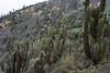 Matorral ecoregion vegetation - Quisco cactus (Echinopsis chiloensis), tall-columnar-branching - Copao of Philippi cactus (Eulychnia castanae), short-columnar-bunching - Bromeliad (Puya chilensis) - and other scrub.