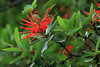 Chilean Fire Bush (Embothrium coccineum), locally called Notro or Ciruelillo - the early summer season bloom - this species of evergreen bush, grows to about 30 ft. (9 m).
