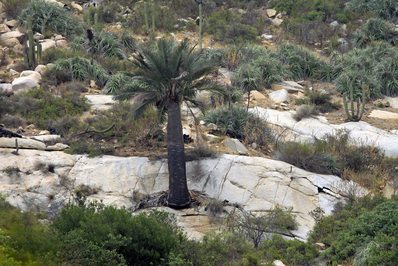 Chilean Wine Palm - growing from a fragmented granitoid igneous rock - among the Quisco cacti and bromeliads (Greigia sphacelata) - Campana National Park.
