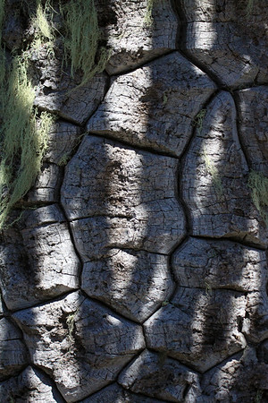 Sunlight and shadows upon the bark of a Pehuén (Araucaria araucana) or Monkey Puzzle tree - and some epiphytic fruticose lichen growing upon.