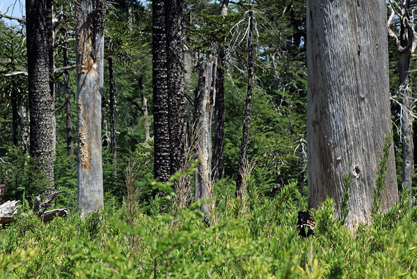 Southeern beech and Monkey Puzzle tree trunks - among the understory vegetation of Colihue or cane (Chusquea coleou).