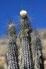 Sheepstail Cactus (Eulychnia breviflora) - displaying its ribbed stems, which grow to about 5 in, (125 mm) in diameter, up to about 17 ribs - this specimens also showing a wooly bud atop - against the naked Atacama Desert sky.