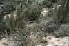 Quisco cactus  - among the Senecio (genus) corolla - and scrub vegetation of the Matorral ecoregion.