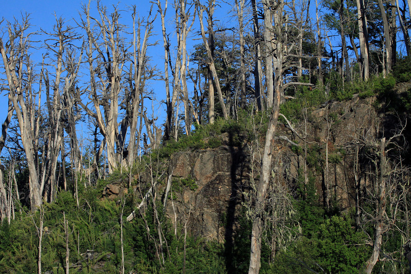 Dead Coihue (common southern beech) - along the rocky ledge, cluster with Valdivian shrubs.