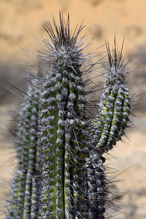 Sheepstail Cactus (Eulychnia breviflora) - displaying its ribbed stems, which grow to about 5 in, (125 mm) in diameter, up to about 17 ribs - and long central spines, which grow longer than the stem's diameter.