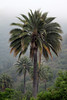 Chilean Palm (Jubae chilensis) - displaying its tall trunk and circular crown of leafs or fronds, which grow to about 10 ft. (3 m) in length.