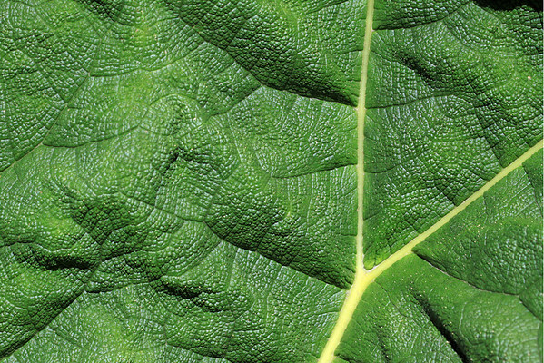 Mid-rib, veins, and dorsal blade (lamina) texture of the Nalca shrub leaf (Gunnera tinctoria) - which grows to about 5 ft. (3 m) long.