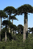 Pehuén or Monkey Puzzle tree - the iconic evergreen of the Pagatonia Andes.