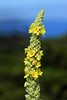 Spike inflorescence (Verbascum thapsus) Hierba del Paño or Grass Cloth - against the blue hues of Lago Llanquihue and the sky above the Los Lagos region, of southern Chile.