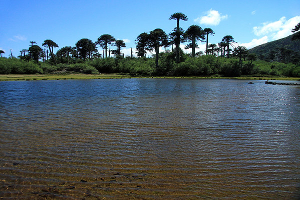 Laguna Verde - about 5,400 ft. (1,646 m), upon the Cordillera Malleco - with the Pehuén or Monkey Puzzle trees, amongst the other vegetation of the Valdivian Temperate Forest ecoregion - Tolhuaca National Park.