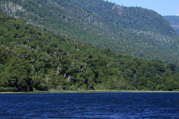 Laguna Malleco - to the forested slopes of the Cordillera Malleco - surrounded by trees of the Valdivian Temperate Forest ecoregion - mainly the southern beech trees (Roble, Coihue, and Lenga) - and a few Monkey Puzzle trees along the upper ridge-top.