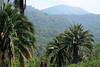 Chilean Wine Palms along the lower northern slope of Cerro Campana.