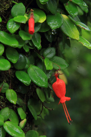 Florescence of the Botellita (Mitraria coccinea) - among its young leaves, and a water droplet about to fall - from here in the small isolated Valdavian vegetation area, atop the Cordillera Talinay - Bosque Fray Jorge National Park - Coquimbo area.