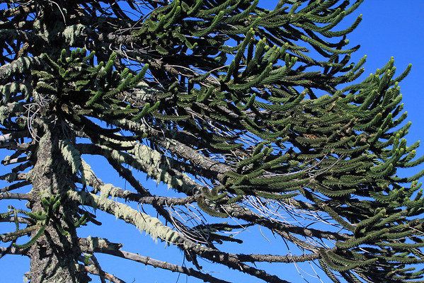 Epiphytic fruticose lichen thriving upon the branches (which live for about 15 years then die and detach from the trunk) of the Pehuén or Monkey Puzzle tree.