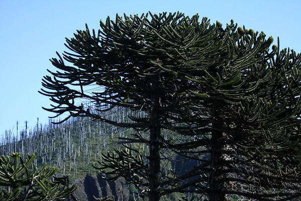 Beyond the thriving Monkey Puzzle trees - to the sapwood trunks and upper branches, of the dead Pehuén trees, along the slope and steep ravine, of the Cordillera Malleco.