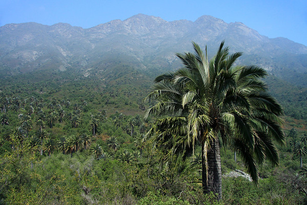 Beyond the Matorral ecoregion vegetation (forests, woodlands, and scrub) - here displaying the dominate Chilean Wine Palms - along the lower eastern slopes of Cerro Campana (Bell Hill), rising to about 6,266 ft. (1,910 m) - Valparaiso region - Coastal Mountain Range - central Chile.