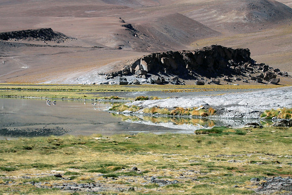 Cushion plants and tussock grass around Laguna Santa Rosa, with several feeding flamingos and an Andean Goose (distal) - and the rock outcrops beyond - Nevado Tres Cruces National Park - Copiapo province, Atacama region - mid-summer season.