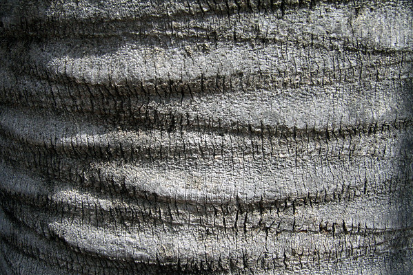 Trunk bark of the Chilean Wine Palm.