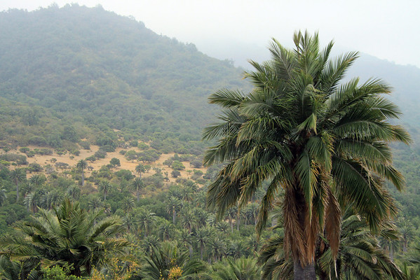 Chilean Wine Palm (Jubae chilensis) - indigenous to a small central area of the Cordillera de la Costa (Coastal Range), between about  32°- 35° S, in the Chilean Mattoral ecoregion - these specimens at the Campana National Park (about 33° S). This palm's sap was used to ferment wine, but not the species is on the endangered species list.