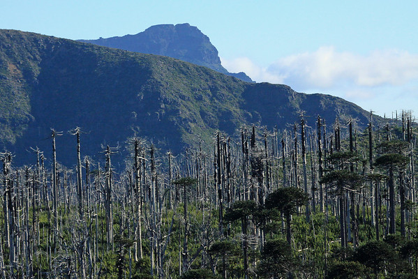 Regeneration of the Pehuéns or Monkey Puzzle trees, after blaze - along the slope of the Cordillera Malleco, Tolhuaca National Park - to the distal ridge along the Cordillera Culluda, Malleco National Reserve - both in the Araucania region.