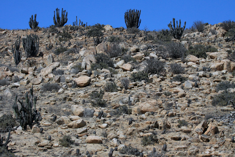 Matorral ecoregion vegetation of the Pan Azucar National Park, consisting of the Sheepstail Cactus (Eulychnia breviflora) - columnar shaped (Copiapo columan alba) cactus - and xeric shrubs.