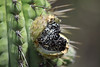 Fruit and seeds - Quisco cacti (Echinopsis chiloensis)