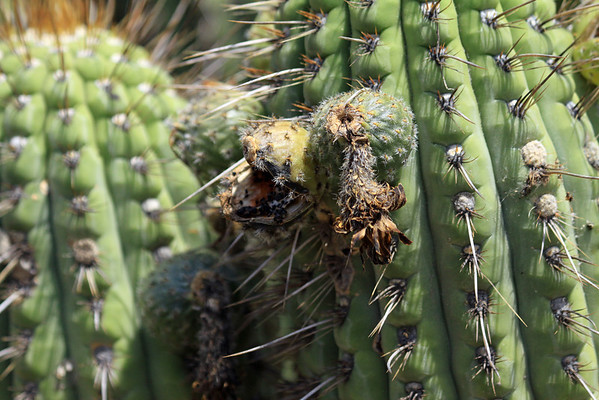 Quisco cacti (Echinopsis chiloensis) - displaying its fruit and faded florescence, among the ribs and spines.