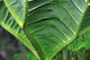 Nalga - the spiny veins of the blade (leaf), the ventral side - whose leaves blades grow to about 5 ft. (1.5 m) in length.
