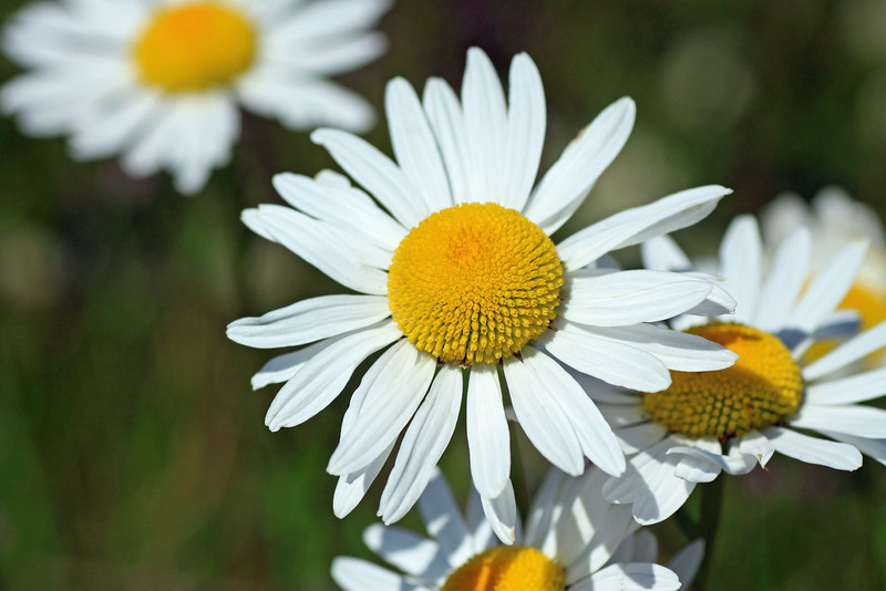 Florescence of a Patagonia daisy.