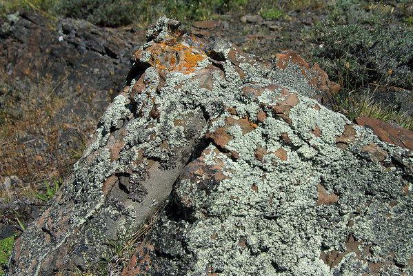 Epiphytic lichens, thriving upon the iron oxide rich sedimentary rock.