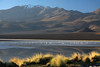 Early morning sunlight upon the tussock grass, lining the endorheic lagoon shoreline, with the feeding/preening flamingos, upon the Salar Ascotan - up to the sunlight and shadows upon Cerro Polapi.