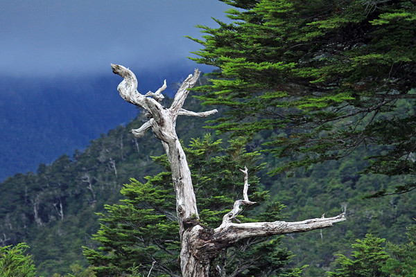 Southern beech (Nothofagus, genus) - the predominate broad leaf forest tree, of the Patagonia Andes - mainly the Coihue (dombeyi), Lenga (pumilio), and Magellan beech (betuloides) - here in the Queulat National Park - Patagonia Andes.