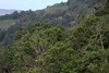 Valdivian temperate forest - a uniquely small relict forest, composed mainly of Olivillo, Boldo, Canelo, and Cinnamon (Myrtle) trees - along the upper slopes of the Cordillera Talinay.