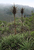 Stiff spines or leafs, with a barbed or spiny-edge - with the fading bloom stalks and inflorescence, of the Chagual bromeliad (Puya chilensis).