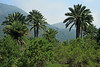 Chilean Palm Trees - growing among the Matorral ecoregion vegetation (forests, woodlands, and scrub) - Campana National Park.