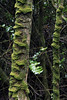 Olivillo tree trunks - cloaked with epiphytic moss - Valdivian forest vegetation - atop the Cordillera Talinay - Coquimbo region.