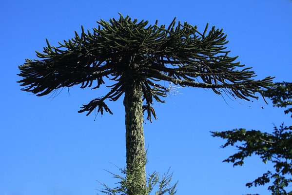 Lichen coated tree trunk and broad canopy of the Pehuén or Monkey Puzzle tree - these trees are loose-pyramidal and open when young, but develop an umbrella-like crown with loss of lower branches as they age - this species of evergreen, has a life expectancy of >1000 years.