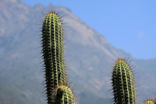 Quisco cacti (Echinopsis chiloensis) - to the distal slope of Cerro Campana.