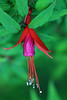 Chilco (Fuchsia magellanica) - pendulous flowers, with red sepals and purple petals - this deciduous shrub of the Patagonia Andes, grows to about 10 ft. (3 m) tall.