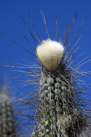 "Wooly flower bud of Sheepstail Cactus (Eulychnia breviflora) - ""Colita de Oveja"" - among the long and stiff central spines, which can grow to about 6 in. (15 cm) long"