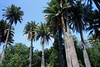 Chilean Wine Palms (Jubae chilensis) - Campana National Park.