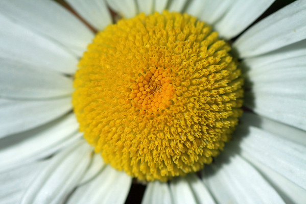 Macro of the florescence of a Patagonia Daisy.