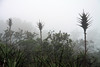 Camanchaca coastal fog, created from the cold Humbolt or Chile-Peru Current, providing the backdrop for the bloom stalk of a Chagual bromeliad (Puya chilensis) - and other shrubs and trees.