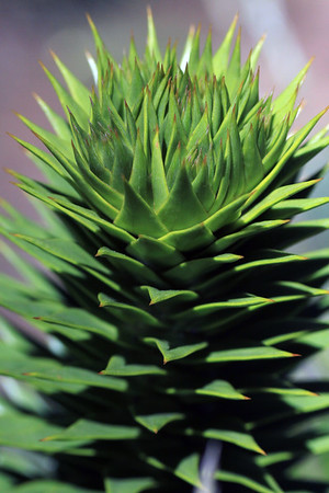 Pehuén (Araucaria araucana) - displaying its sunlit tip or end of its limb - showing the early summer season growth of its stiff, overlapping, and pointed leafs.