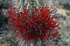 """(Tristerix aphyllus) is sometimes called the """"cactus mistletoe"""" - this parasitic plant grows to about 6 in. (15 cm), above the surface of the Quisco columnar cactus."""