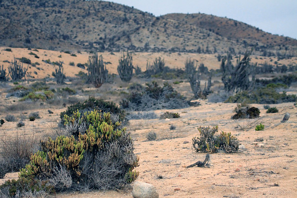 "Along the Quebrada Quiscuda - displaying the xerophytic vegetation of the Matorral ecoregion - which is supported by the coastal fog called the ""camanchaca"" - Pan Azucar National Park."