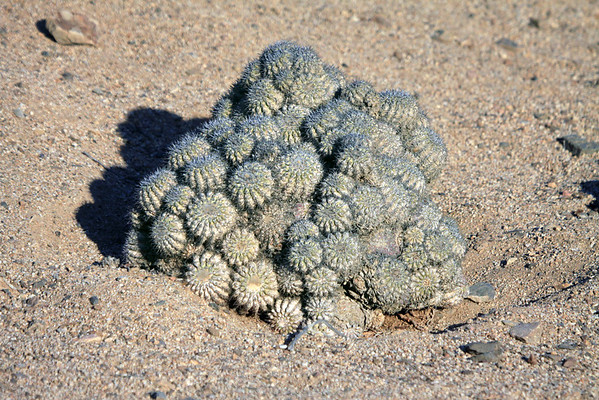 (Copiapoa cinerascens)  - a globose-cylindrical cactus - this specimen in the Pan de Azucar National Park - Atacama region.