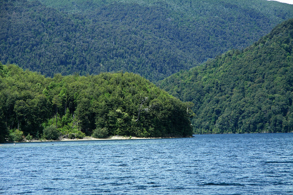 Lago Pirehueico - Southern Beech trees (Nothofagus, genus), consisting of both deciduous and evergreen species - notice the dead specimen, with its main trunk extending almost perpendicular to  the steep slope.