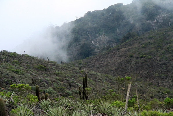 Among the scrub vegetation - up thru the coastal Camanchaca fog - to the upper ridge of the Cordillera Talinay, and the beginning of the steep Valdivian forested upper slopes.