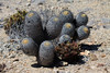 Native cactus of the Atacama Desert (Copiapo columan-alba) - this species grows to about 2.5 ft. (76 cm) tall - with the column stems measuring about 7.5 in. (19 cm) in diameter.